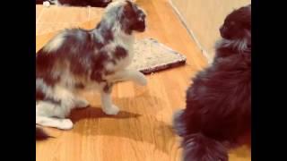 Драка кошек породы Мейн Кун (очень жестоко)