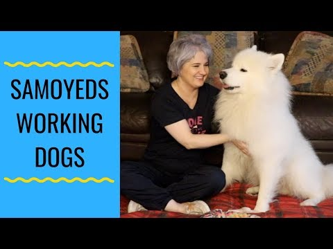 Samoyeds Are Working Dogs
