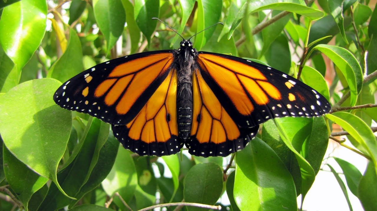 Monarch Mania! Monarch Butterfly Life Cycle - YouTube