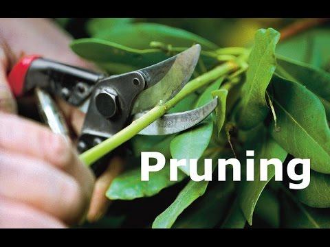 How To Prune Tree Branches | Winter Tree Pruning | Prune Branches (Urdu/hindi)