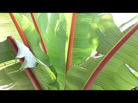 Ethiopian banana - Ensete ventricosum - Ensete ventricosum HD 01