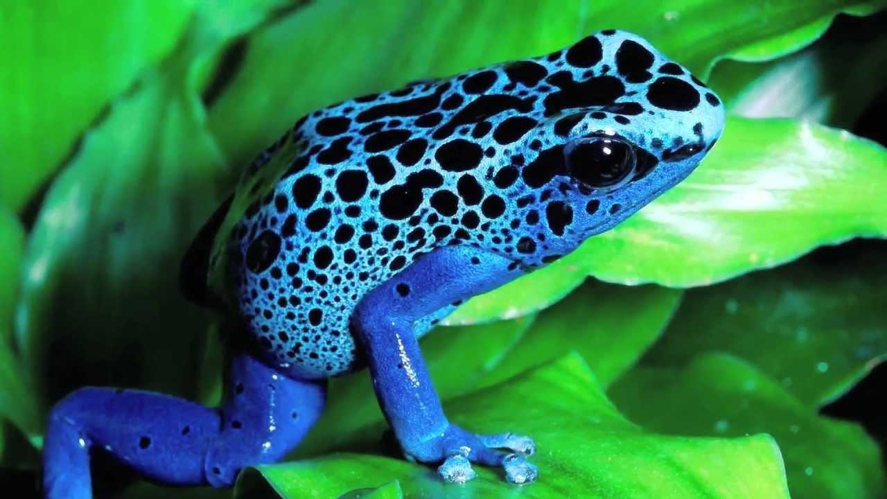 Grenouille Bleue Venimeuse the frogs - les grenouilles - youtube