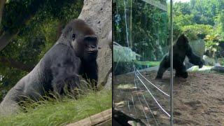 Gorillas Crack Glass of Zoo Enclosure During Fight