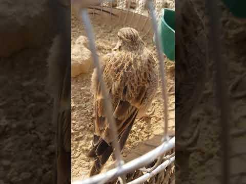 Jal bird ,lark  iranai        hk007