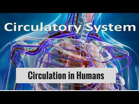 Human Circulatory System- Circulation in Humans