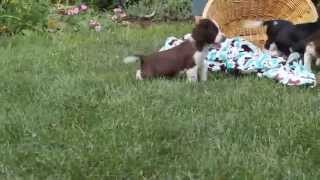 English Springer Spaniels For Sale