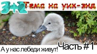 А у нас лебеди живут. Лебеди Домашние Животные. Рождение маленьких лебедят на озере Валензее.