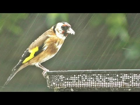 Relaxing Birds in The Rain with Beautiful Bird Song and Nature Sounds
