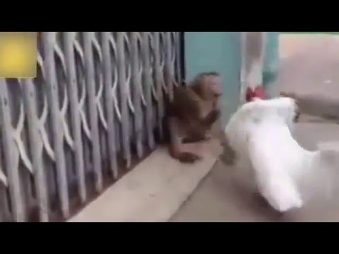 beating the monkey cock seven