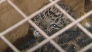 В самарском зоопарке родились котята дальновосточного леопарда