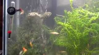 4 Green Spotted Puffers in 55g Freshwater Community Tank