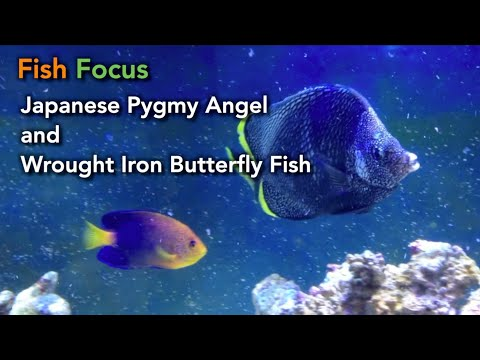 Fish Focus: Japanese Pygmy Angel And Wrought Iron Butterfly Fish