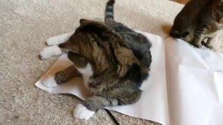 紙で遊ぶまる。-Maru plays with the paper.-