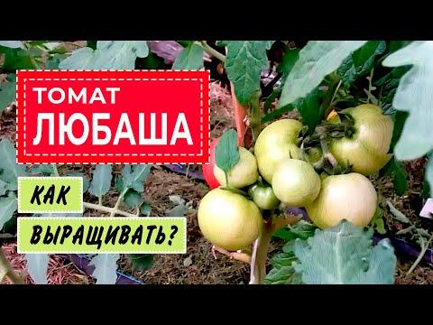 Обзор томатов.Томат Любаша