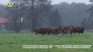 Brandrode Runderen terug naar de stal - Deep Red Cattle