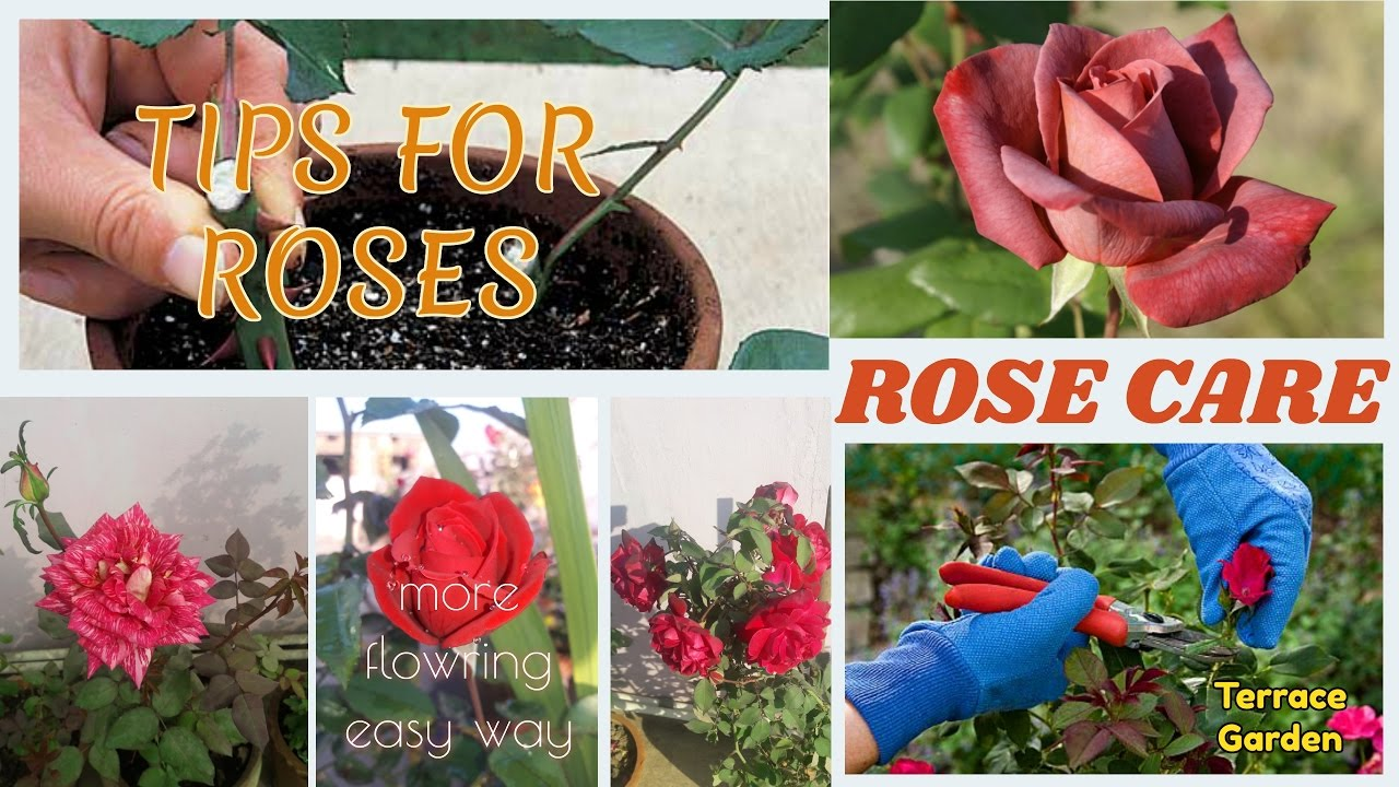 How to take care of roses - How To Care Rose Plants Hindi Urdu Tips And Tricks All About Potted Roses