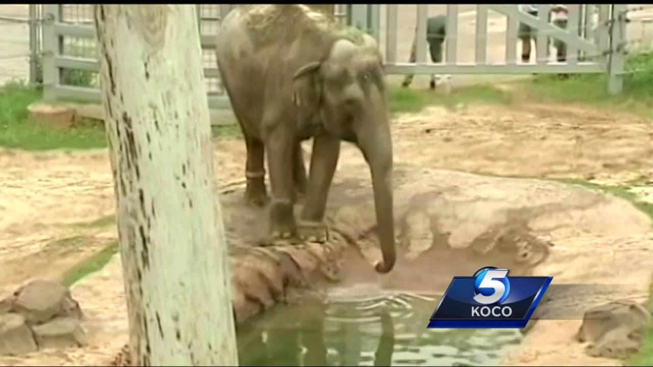 Elephant who arrived to OKC Zoo from Seattle now the target of