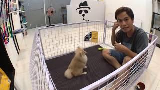 Cách huấn luyện chó cơ bản (#4 - Bản Livestream) Dạy cún NGỒI, NẰM | Cнi tiết | BossDog