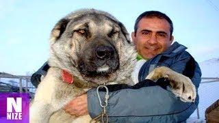 17 Hunde Die Stärker Sind Als Ein Wolf!