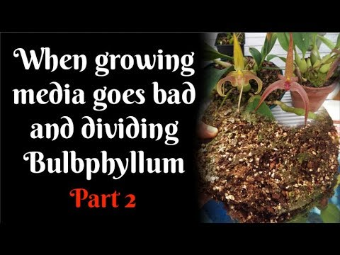When growing media goes bad and dividing Bulbphyllum Part 2