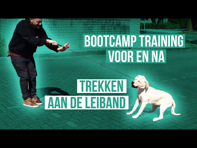 Voor & Na Bootcamp Sky (Labrador) - Gehoorzaamheid en Trekken aan de leiband