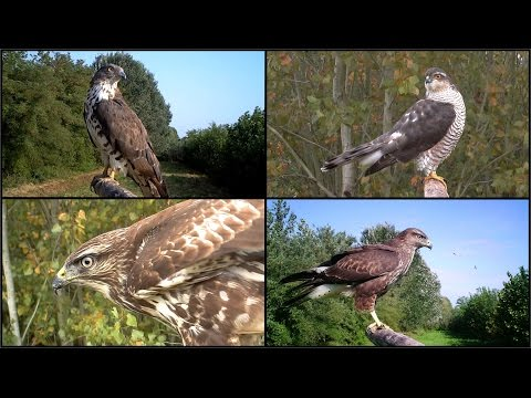 Rapaci diurni, Sparviere, Poiana, Gheppio, Falco pecchiaiolo, birds of prey