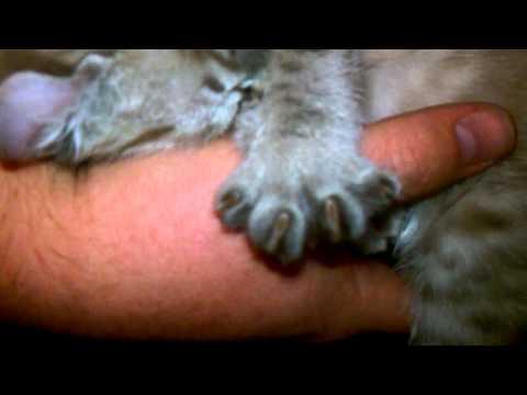 Gadget sleeping in my arms - Highlander kitten