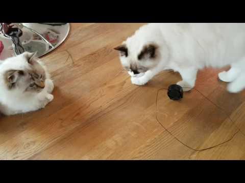 Ragdoll cats....typical ragdoll - no fear...