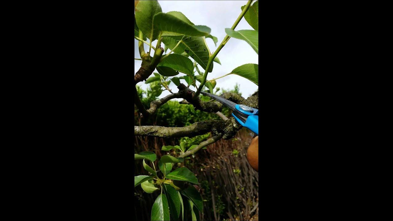 Taille en vert du poirier 2 me youtube - Taille du poirier william ...