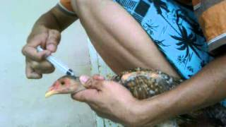 Cách tiêm thuốc cho gà nhanh