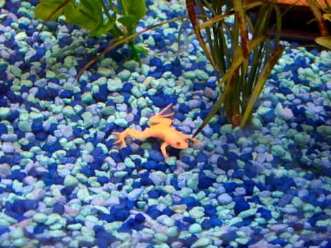 African Albino Frogs, Black Moors, Red Fantail Goldfish.
