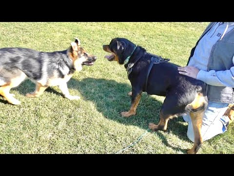 Rottweiler playing with German Shepard puppy |71