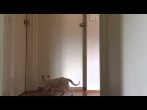 Cat meowing loudly. Cute tonkinese.
