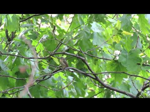 Worm-eating Warbler (Neversink Mountain)