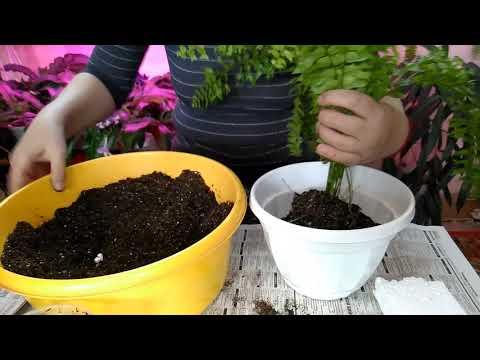Первая перевалка папоротников в горшки //  Папоротники которые я не советую выращивать в квартире
