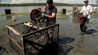 Oyster farmers and ocean acidification