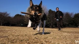 Toy Fox Terrier, Anne plays with dad at a park in Japan. Two dogs? ...