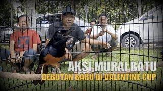 SUARA BURUNG : Stop Press Valentine Day ! Murai Batu Gambul Gacor Jadi Juara