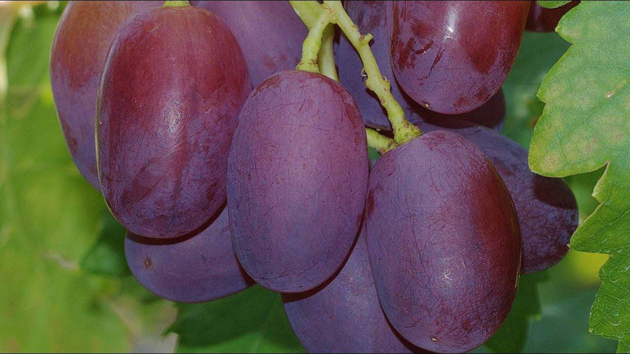 Виноград виктор  описание