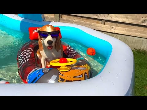 Funny dog loves hit floaty car! Cute Dog Louie The Beagle
