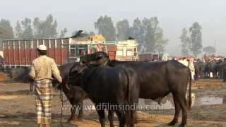 Buffalo for sale at Muzaffarnagar market in India