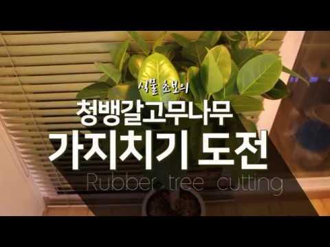 식물초보의 청뱅갈고무나무 가지치기 도전 ::