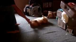 "Chloe The Pomeranian ""squeaker"" Talk"