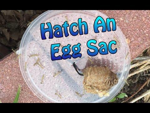 praying mantis egg case after hatching