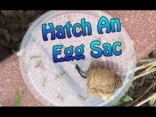 Praying Mantis Egg Sac Information How To Hatch An Egg Case