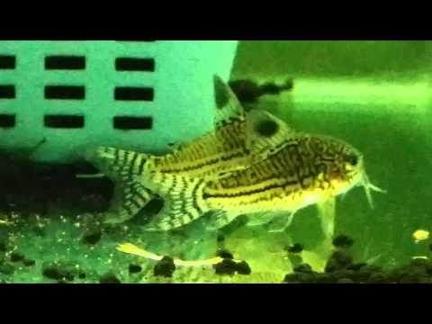 Corydoras Julii Spawning