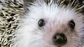 Hedgehog. Igel. Ежик, ёж и ежики. Приколы с ежикам...