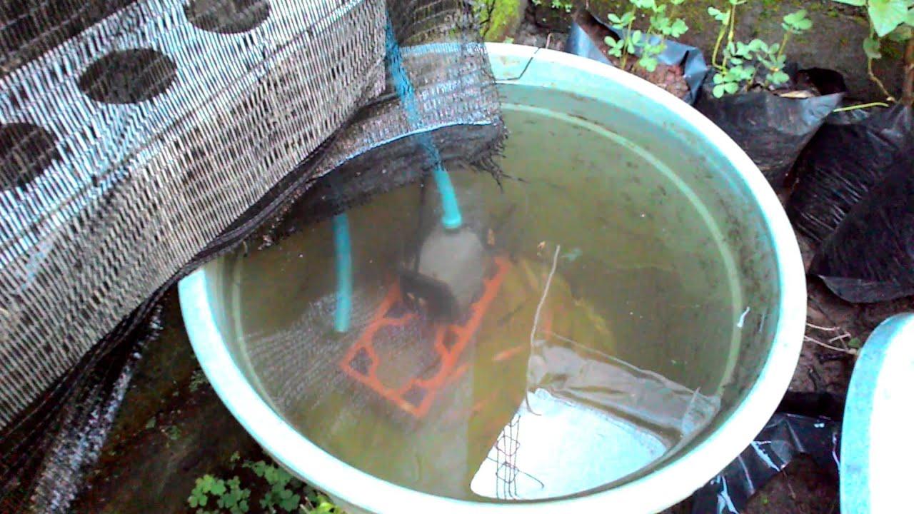 Budidaya Ikan nila bawal di ember filter tanaman - YouTube