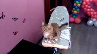Крыса бегает по натяжному потолку - хозяин негодует (приколы животные)