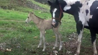 Watch a horse giving birth to a very cute colt in Kona Hawaii